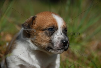 young puppy jack russel terrier