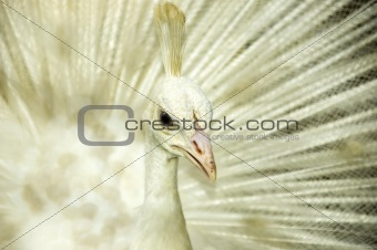 White peacock. 