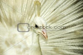 White peacock.