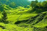 Tea farm.