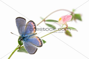 Acmon Blue, Plebejus acmon, Butterfly