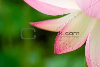 beautiful lotus leaf