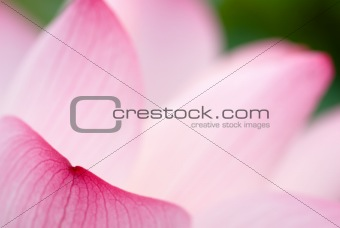 beautiful lotus leaf