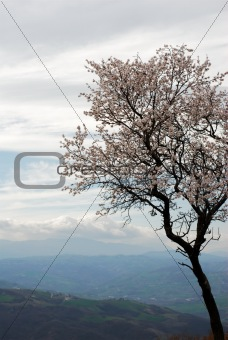 Pale pink almond bloom on a grey spring sky