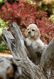 cocker spaniel puppy in the park