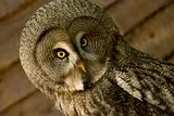 owl face close up