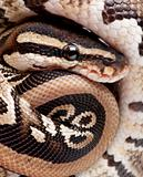Close up on a Young Python regius (10 months old)