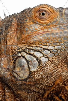 close-up on a Green Iguana - Iguana iguana (6 years old)