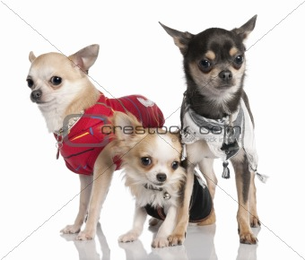 Group of three chihuahua
