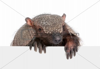 Armadillo going out from behind a blank panel