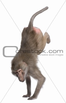 Baboon performing a hand stand -  Simia hamadryas