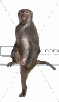 Baboon sitting and looking at the camera -  Simia hamadryas