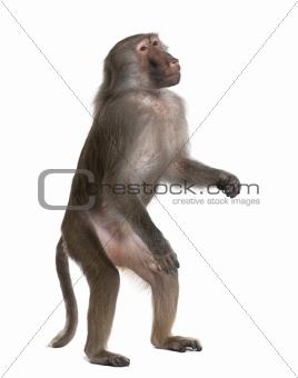 Baboon standing up -  Simia hamadryas