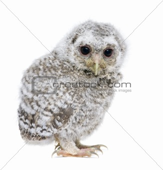 owlet- Athene noctua (4 weeks old)