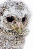 close-up of an owlet's head - Athene noctua (4 weeks old)