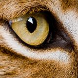 close-up on a feline&#39; eye - Eurasian Lynx - Lynx lynx (5 years o