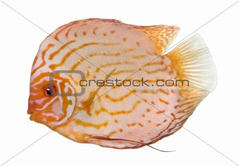 Pigeon Blood Discus (fish) - Symphysodon aequifasciatus