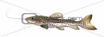 Catfish - Pseudoplatystoma fasciatum