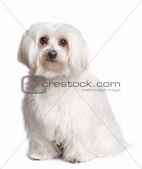 maltese dog
