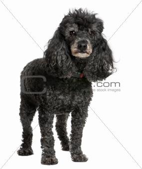 Old black poodle (12 yeras old)