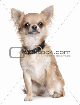 chihuahua puppy (8 months old)