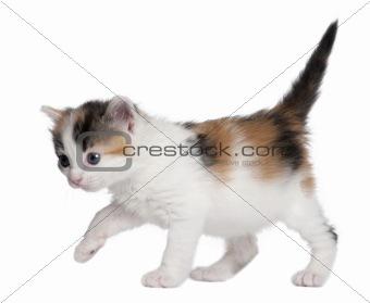 kitten (1 month old)