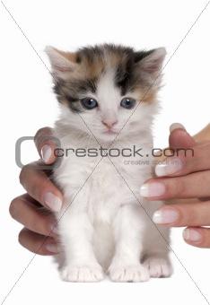 kitten (1 months old)