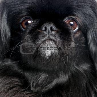 Black Pekingese