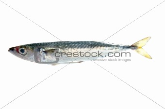 fish isolated on white