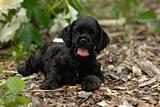 cocker spaniel puppy in the garden