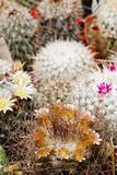 Mammillaria mix in flower