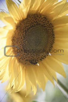 sunflower / soft toning / pleasant pastel colors