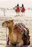 Camels In An Arabian Desert