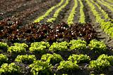 Red little baby lettuce, fields from spain