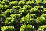 Green lettuce country in Spain