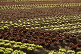 Red little baby lettuce, fields from spain