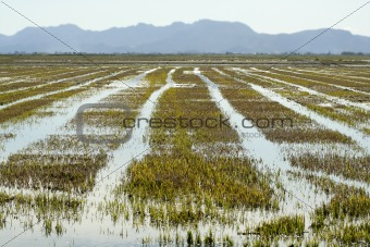 Growing rice fields in Spain. Water reflexion
