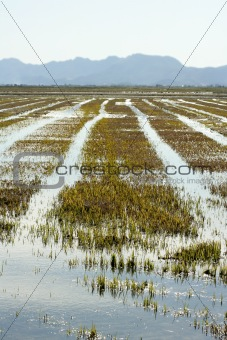 Growing rice fields in Spain. Water reflexion