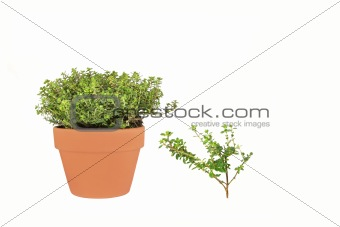 Golden Thyme Herb