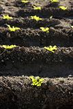Lettuce sprouts field, green vegetable outbreaks