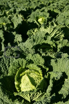 Green cabbage detail on a Spanish field