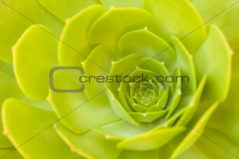 Beautiful Green Succulent Cactus Blossom Abstract Image.