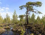 The crook pine among bog