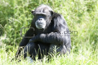 chimpanzee in long grass