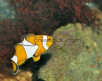 Fish - the clown