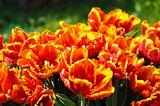 Flowered Tulips