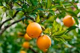 Orange-tree with Fresh Oranges