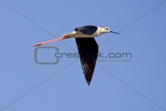 Black-Winged Stilt Flying
