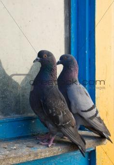 Gray pigeons