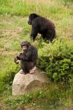 Chimp and Gorilla